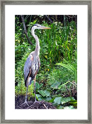Framed Print featuring the photograph Blue Heron At The Everglades by Pravine Chester