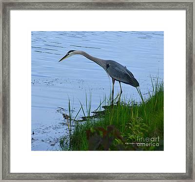 Blue Heron Framed Print by Gordon Mooneyhan
