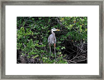 Framed Print featuring the photograph Blue Heron In Tree by Dan Friend