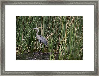 Blue Heron In Water  Framed Print