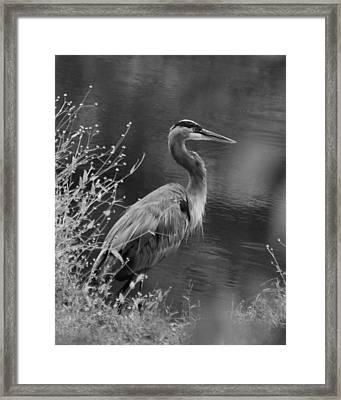 Blue Heron Observing Pond - 51006955m  Framed Print by Paul Lyndon Phillips