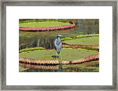 Framed Print featuring the photograph Blue Heron On Giant Lilly Pad by Jodi Terracina