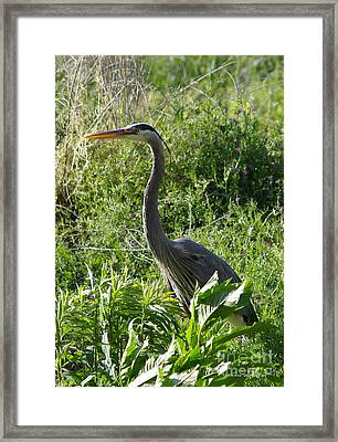 Framed Print featuring the photograph Blue Heron by Tannis  Baldwin