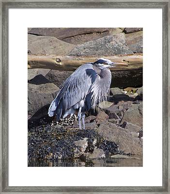 Blue Heron  Framed Print by Tracey Levine