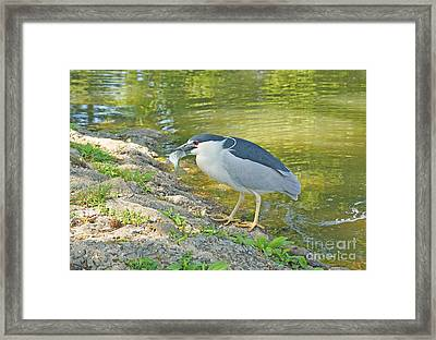 Blue Heron With Fish Framed Print