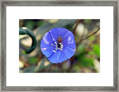 Blue Honey Bee Flower Framed Print by Denis Shah