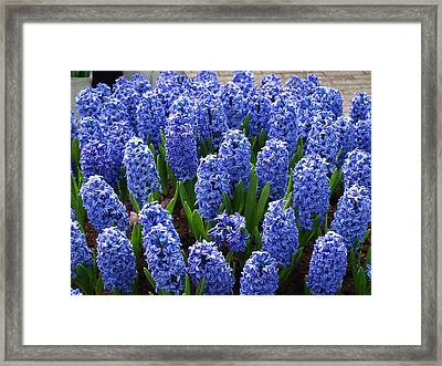 Blue Hyacinth Framed Print by Larry Krussel
