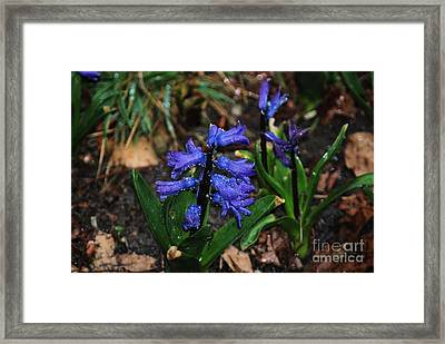 Blue Hyacinth Framed Print