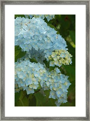 Framed Print featuring the photograph Blue Hydrangeas by Peg Toliver