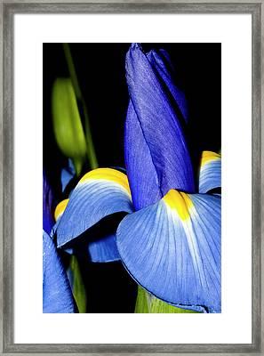 Blue Iris Garden Framed Print