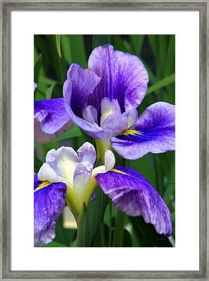 Blue Irises Framed Print