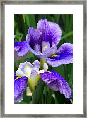 Blue Irises Framed Print by Deborah  Crew-Johnson