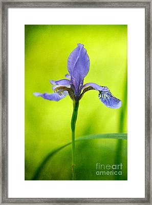 Blue Japanese Iris Framed Print by Lois Bryan
