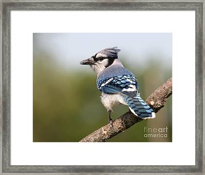 Framed Print featuring the photograph Blue Jay by Art Whitton