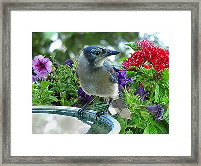 Framed Print featuring the photograph Blue Jay At Water by Debbie Portwood