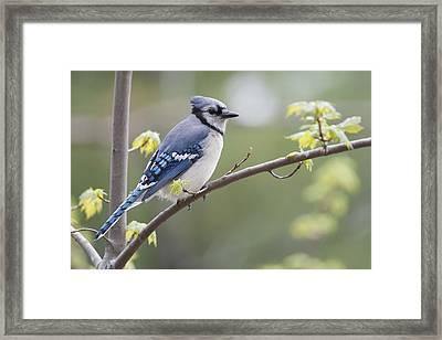Blue Jay Cyanocitta Cristata Perched On Framed Print