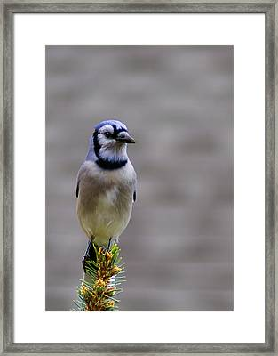 Blue Jay In The Pine Framed Print by LeeAnn McLaneGoetz McLaneGoetzStudioLLCcom