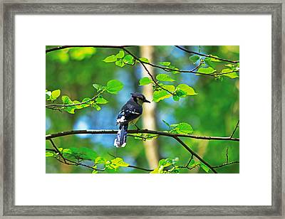Framed Print featuring the photograph Blue Jay by Josef Pittner