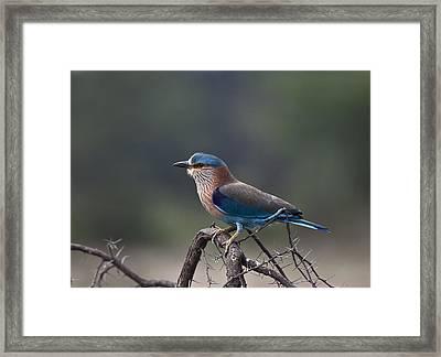 Blue Jay Or Indian Roller Framed Print