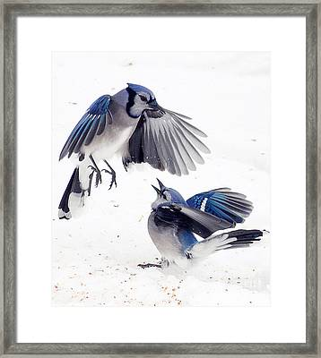 Blue Jays Framed Print by Billie-Jo Miller