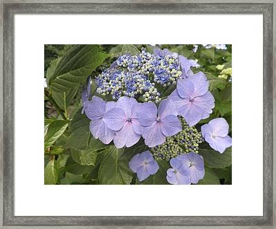 Blue Lacecap Hydrangea Framed Print by Kate Gallagher