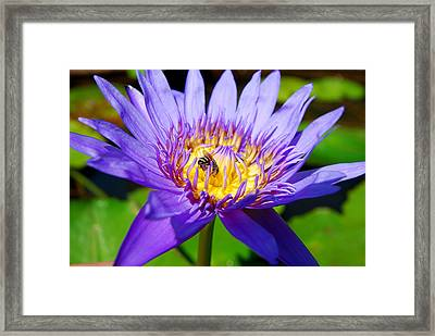 Blue Lotus And Honey Bee Framed Print