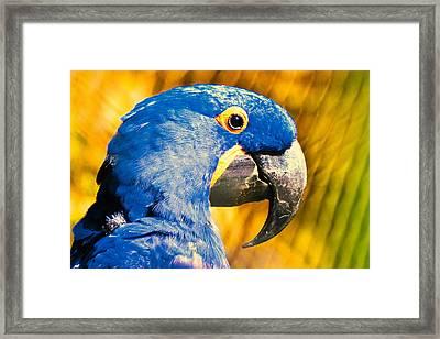 Blue Macaw Framed Print