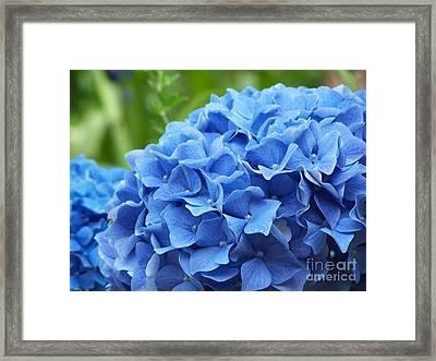 Blue Madeira Hydrangea Framed Print by Patricia Land