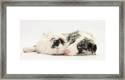 Blue Merle Border Collie With Guinea Pig Framed Print by Mark Taylor