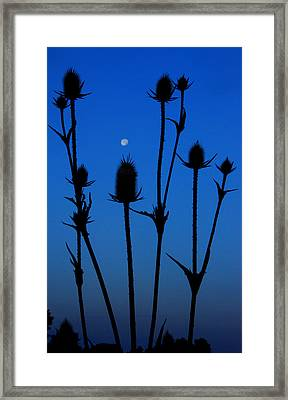 Blue Moon Thistle Framed Print