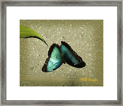 Blue Morpho 1 Framed Print by Margaret Buchanan