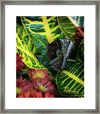 Blue Morpho Butterfly Framed Print by Margaret Buchanan