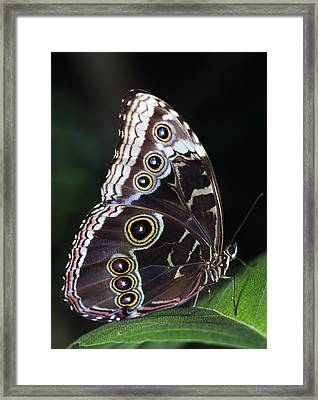 Blue Morpho Butterfly Framed Print by Natural Selection Ralph Curtin