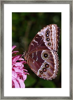 Blue Morpho Butterfly On Flower Framed Print by Natural Selection Ralph Curtin
