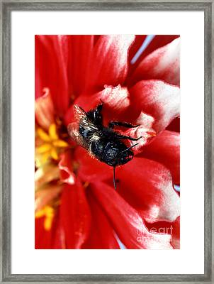 Blue Orchard Bee Framed Print by Science Source