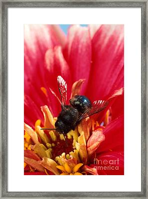 Blue Orchard Bee Framed Print by Scott Bauer