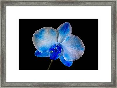 Blue Orchid Bloom Framed Print by Susan Candelario