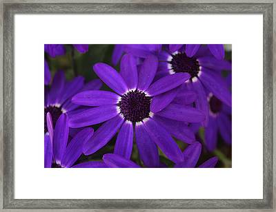 Framed Print featuring the photograph Osteosperumum by David Grant