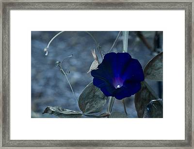 Blue Petunia 2 Framed Print