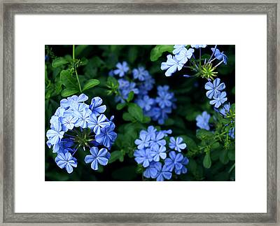 Blue Plumbago Framed Print by Barbara Middleton