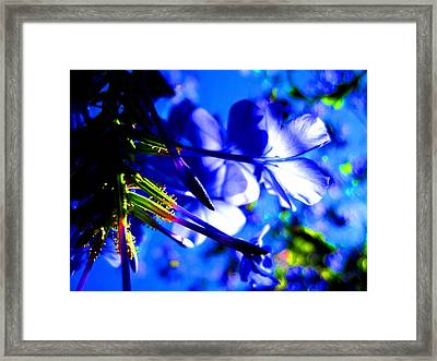 Blue Plumbago Flowers Framed Print by Catherine Natalia  Roche