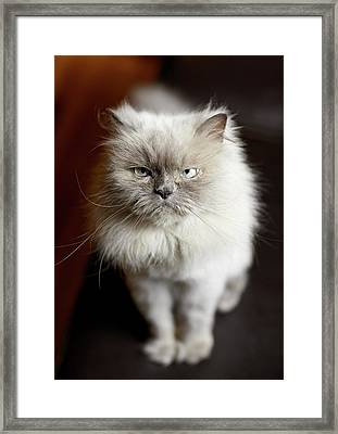 Blue Point Himalayan Cat Looking Irritated Framed Print by Matt Carr