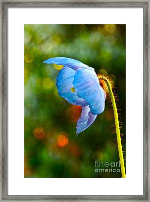 Blue Poppy Dreams Framed Print by Byron Varvarigos
