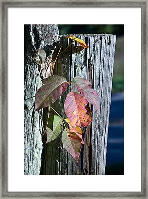 Blue Posts And Poison Ivy Framed Print by Douglas Barnett
