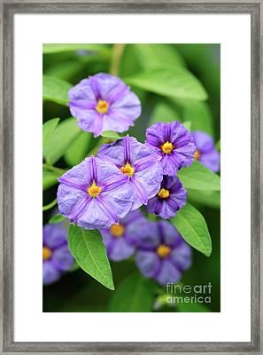 Blue Potato Bush Framed Print