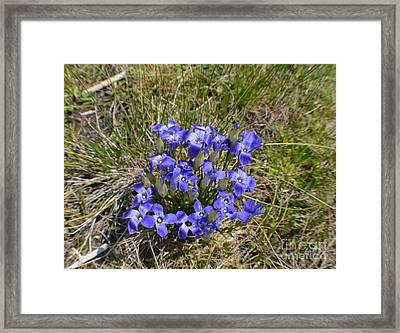 Blue-purple Damsels Framed Print by Roxann Whited