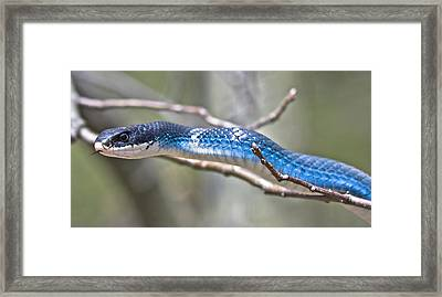 Blue Racer Snake Framed Print by Jeramie Curtice
