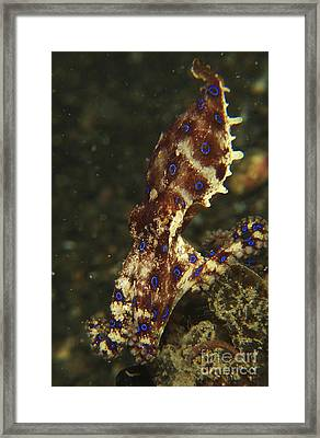 Blue-ring Octopus On Black Sand, North Framed Print by Mathieu Meur
