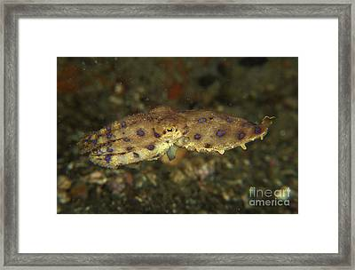 Blue Ring Octopus Swimming, North Framed Print by Mathieu Meur