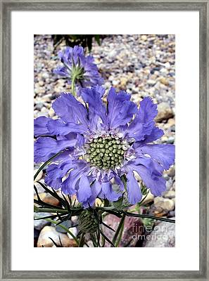 Blue Scabiosa Framed Print